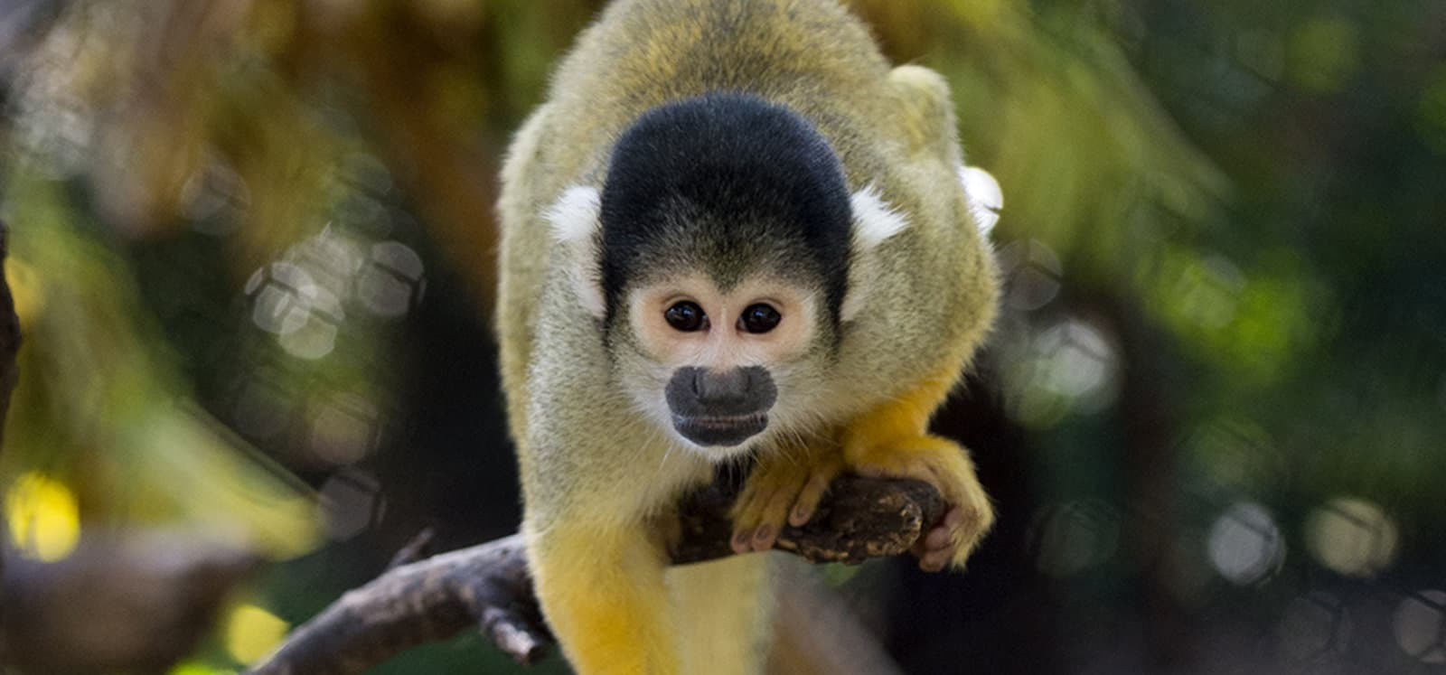 Squirrel Monkey at Adelaide Zoo