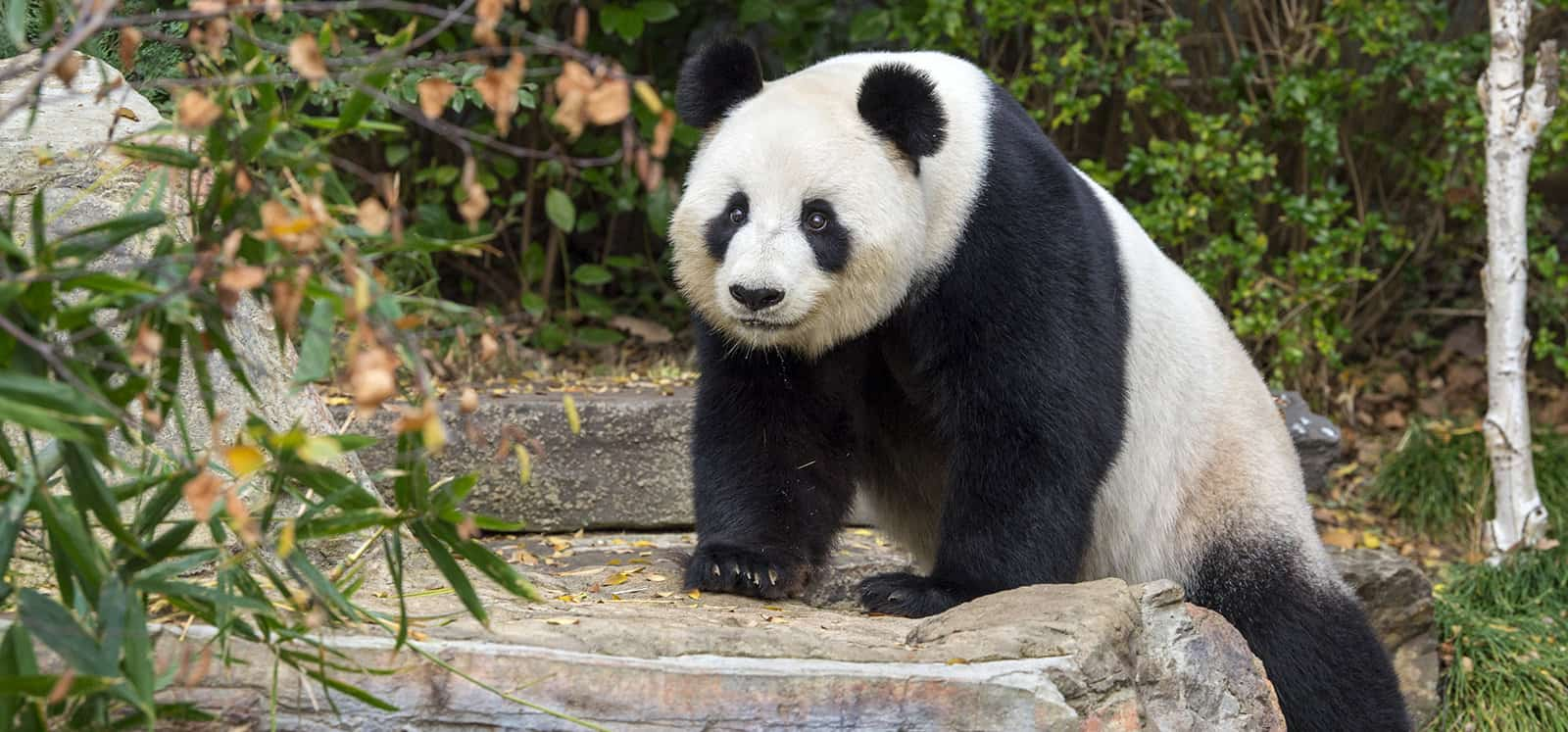 Giant Panda climbing onto rock at Adelaide Zoo