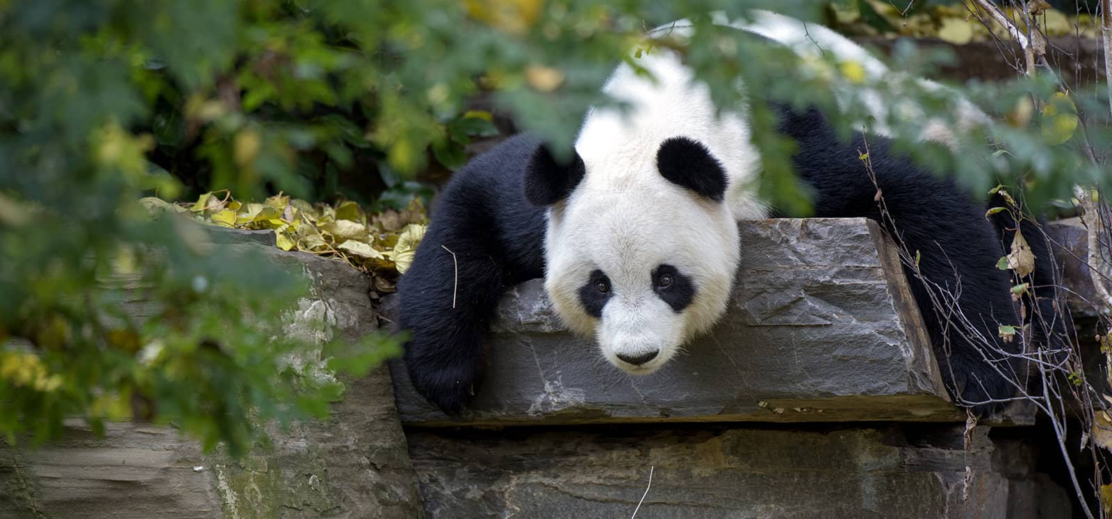 Giant Panda lying on rock at Adelaide Zoo