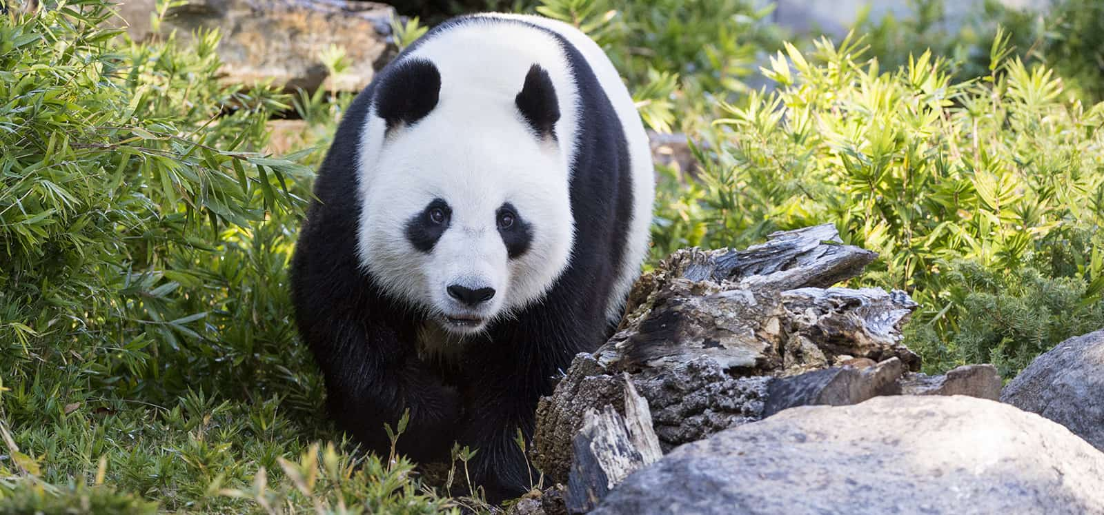 Giant Panda walking at Adelaide Zoo