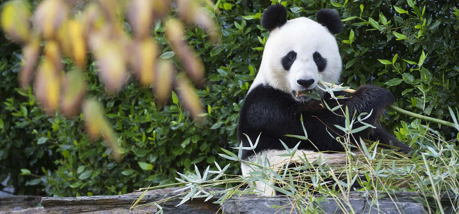 Giant Panda chewing bamboo at Adelaide Zoo