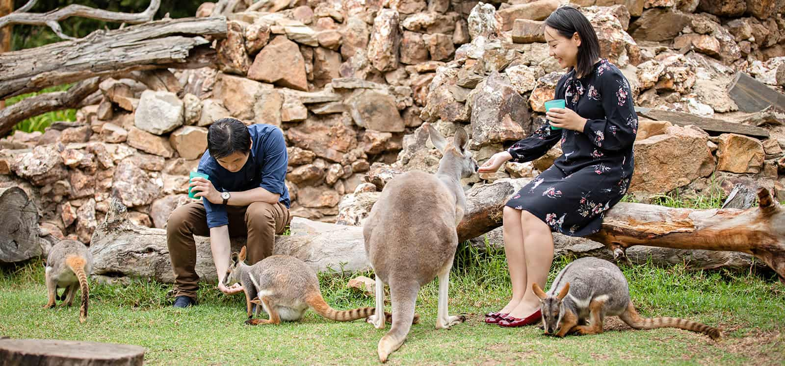 Yellow-footed Rock-wallaby being fed from hand at Adelaide Zoo