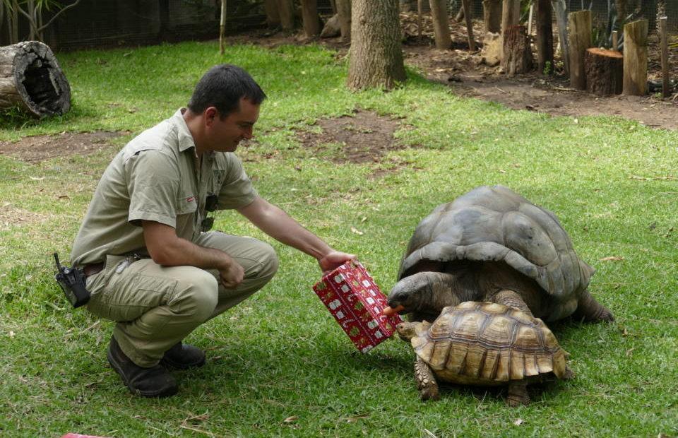 Aldabra tortoise Christmas gift