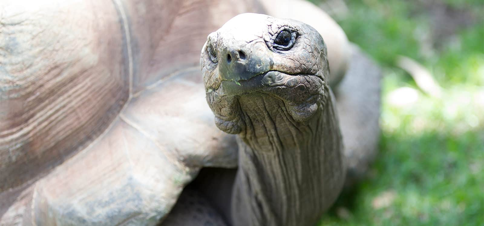 Aldabra Tortoise at Adelaide Zoo
