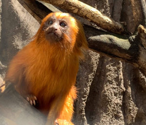 Golden Lion-tamarin Adelaide Zoo