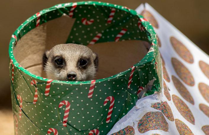 Adelaide Zoo Christmas 2019 meerkat