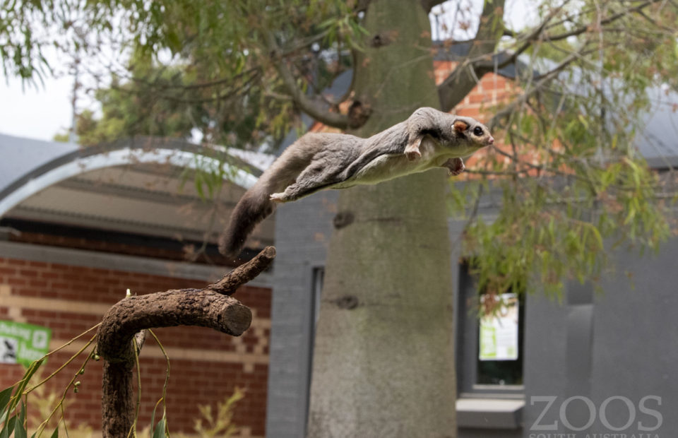 Leap Day deal, Squirrel glider, Adelaide Zoo, membership, entry price