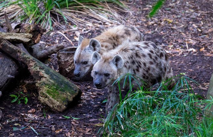 Spotted Hyaena swap Adelaide Zoo Monarto Safari Park