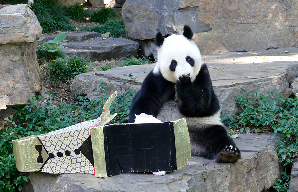 Adelaide Zoo Giant Panda Fu Ni Easter enrichment