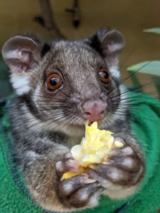 Adelaide Zoo Ring-tailed Possum Navi hand raised
