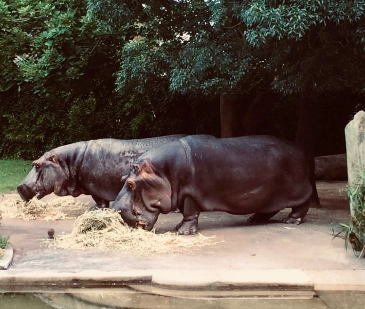 Brutus and Susie eating Adelaide Zoo