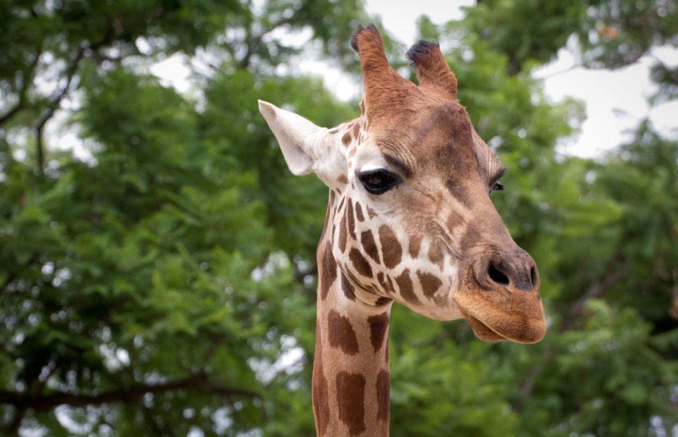 kimya, giraffe, adelaide zoo