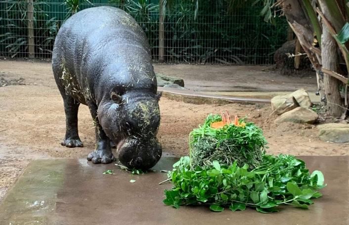 Obi, Birthday, Adelaide Zoo
