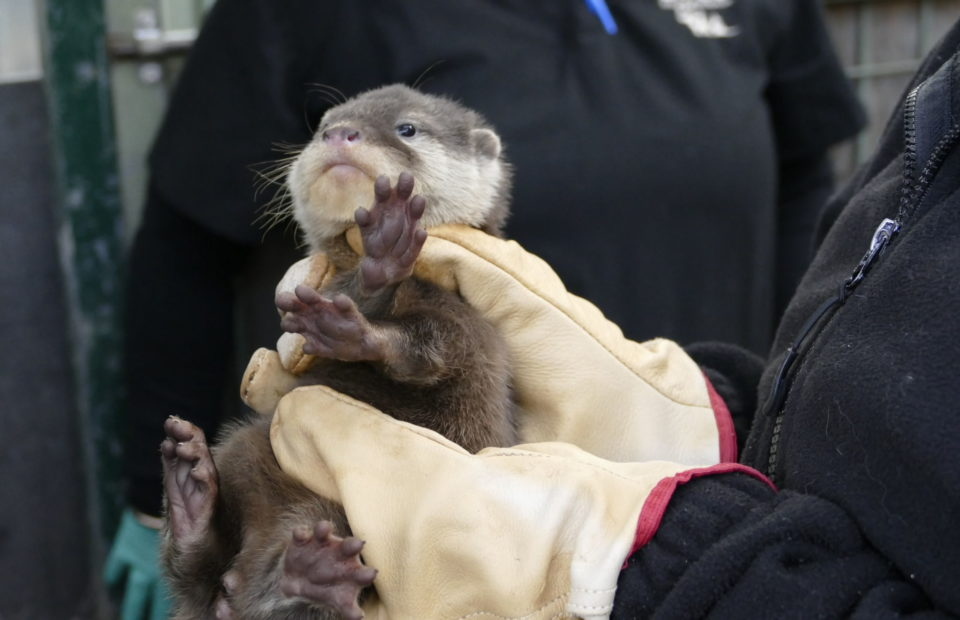 Small-clawed otter, otter, Adelaide Zoo
