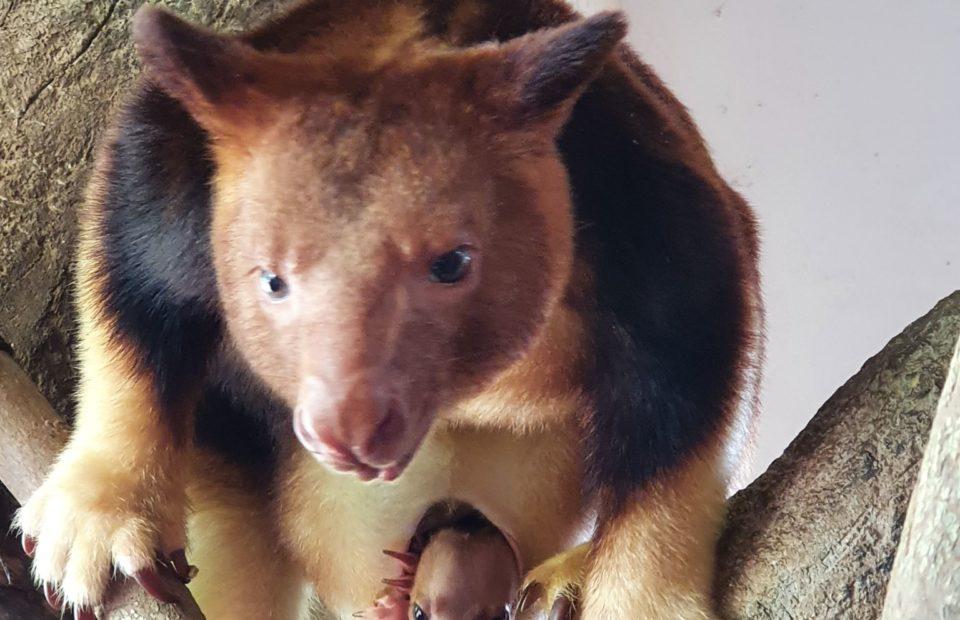 tree kangaroo, Adelaide Zoo, Singapore Zoo,