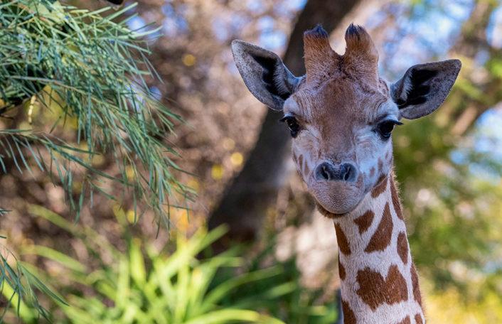 Nolean Adelaide Zoo giraffe
