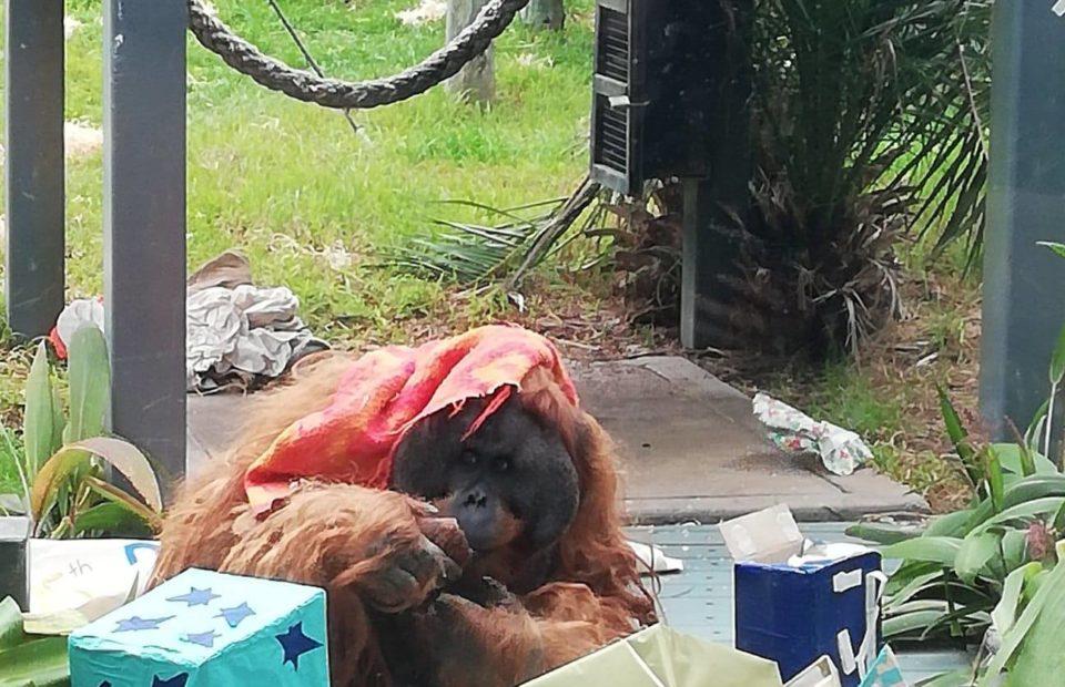 Kluet, 25th birthday, Adelaide Zoo, endangered animals