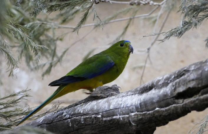 Orange-bellied Parrots,