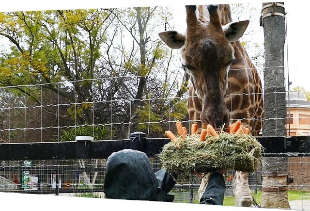 Kimya, giraffe,