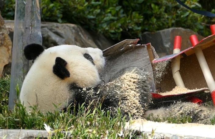Wang Wang, panda party, pirate theme,