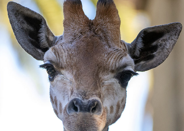 Nolean birthday, giraffe calf, Adrian Mann