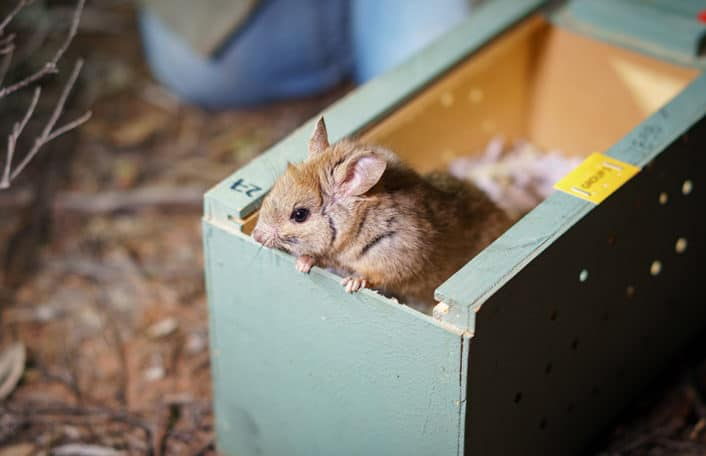 Adelaide Zoo greater stick-nest rat release