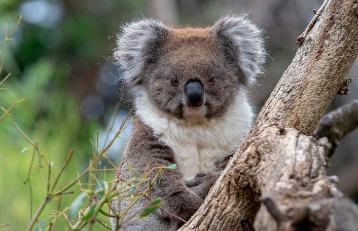 Adelaide Zoo covid closure koala