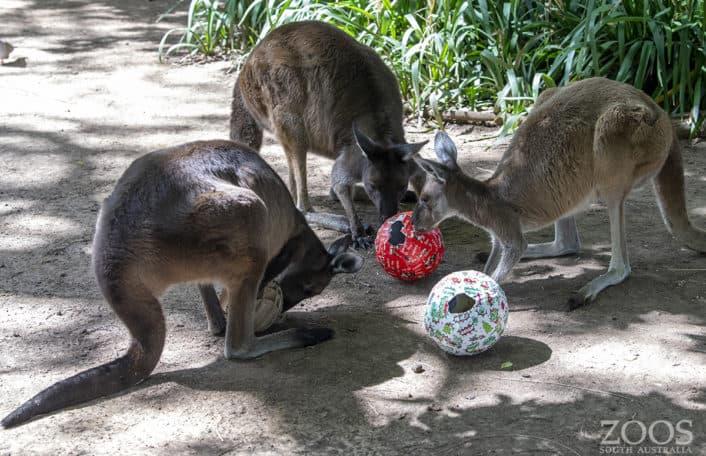Kangaroos at Christmas, Adelaide Zoo image: Adrian Mann