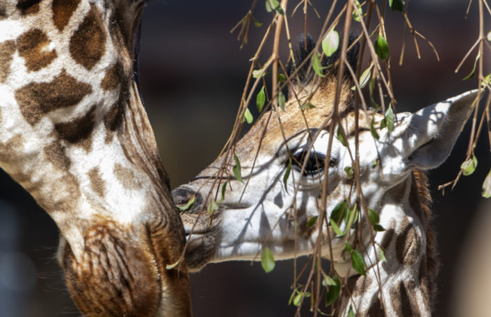 Giraffe calf, Azizi, Adrian Mann