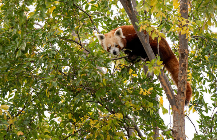 Mishry the Red Panda is up high in a tree. She is looking down at her keeper who is not in the image.
