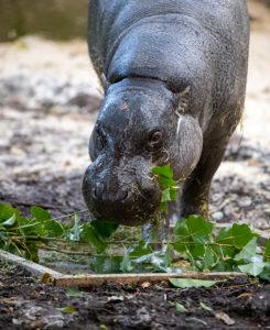 Adelaide Zoo Pygmy Hippo welfare