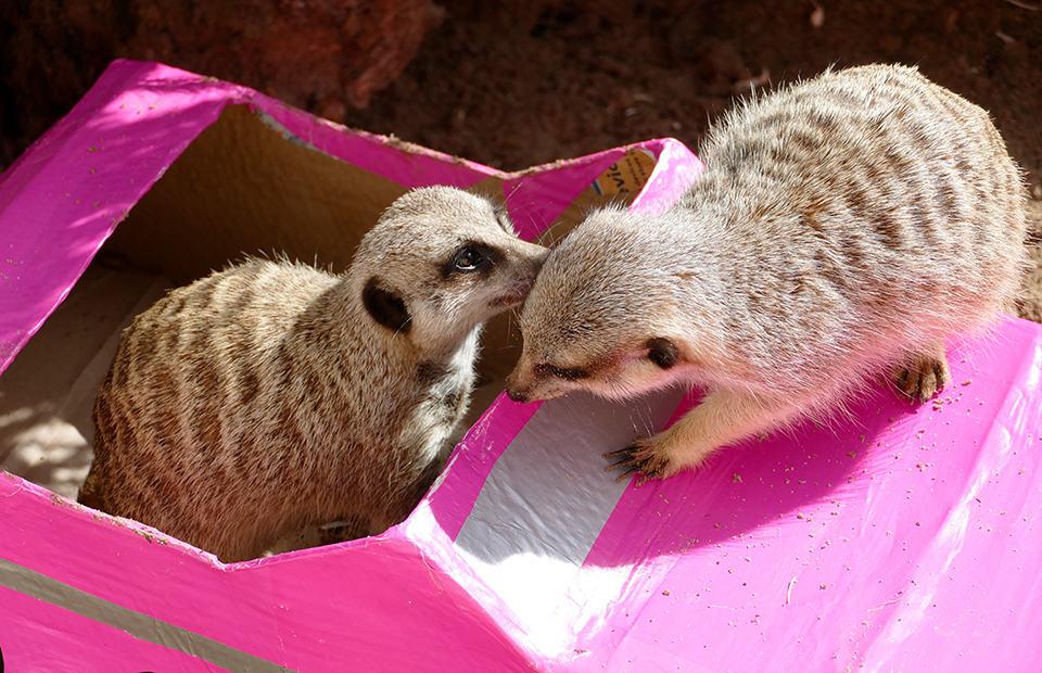 Adelaide Zoo World Meerkat Day enrichment