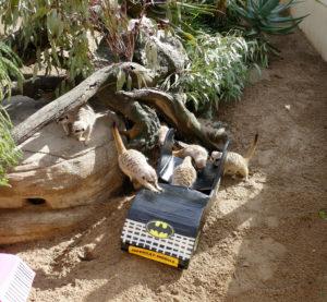 Adelaide Zoo meerkats enrichment World Meerkat Day