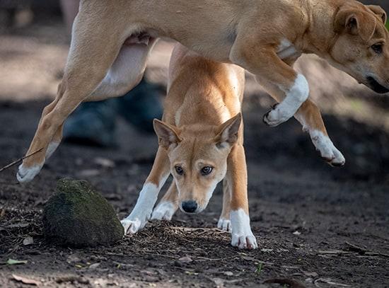 Dingo, Adelaide Zoo,