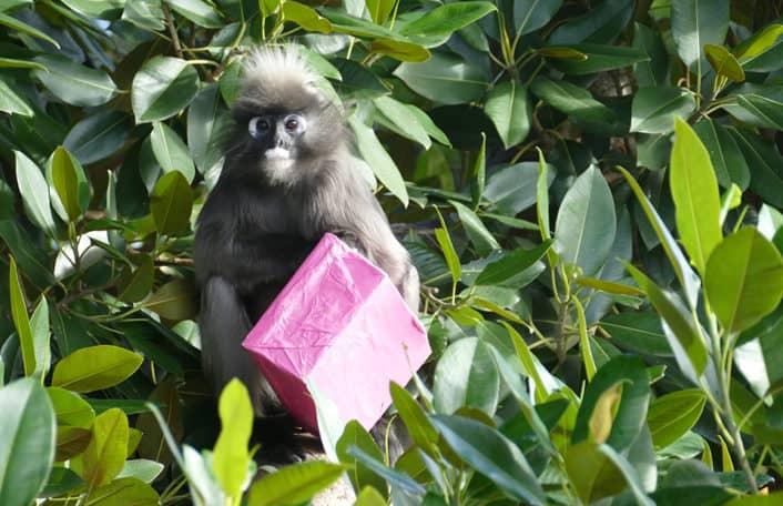 Adelaide Zoo Dusky Leaf-monkey birthday