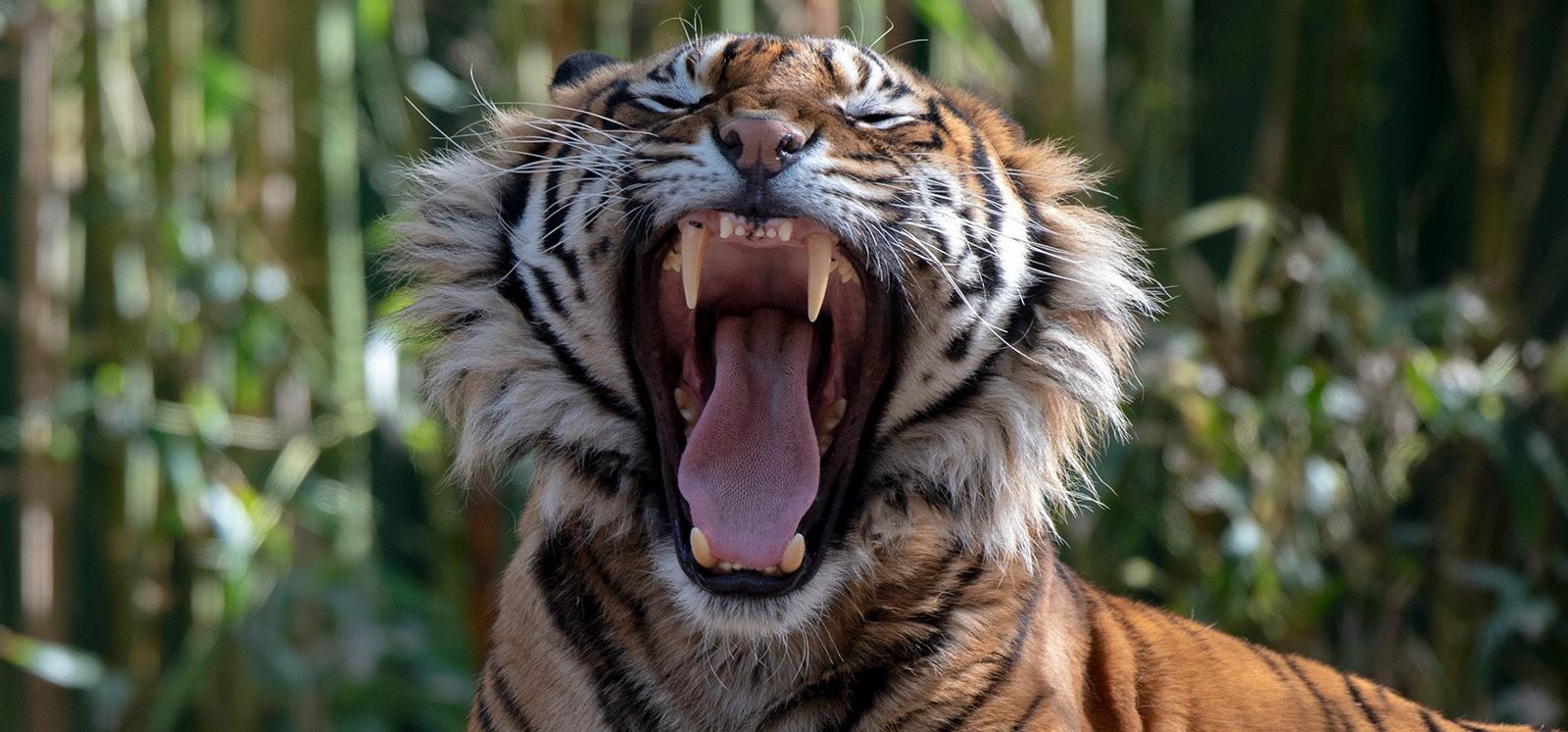 Sumatran Tiger roaring at Adelaide Zoo