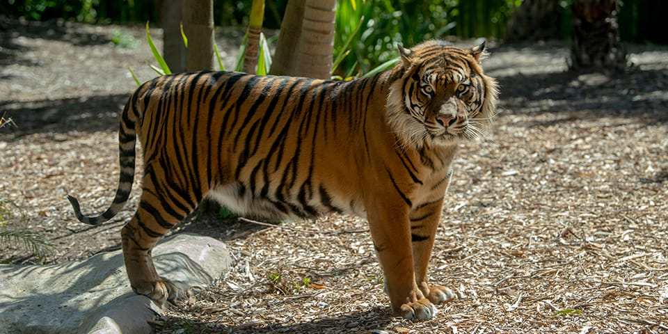 Sumatran Tiger Facts Information Adelaide Zoo