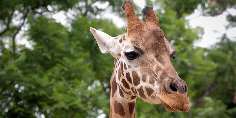 Giraffe Adelaide Zoo
