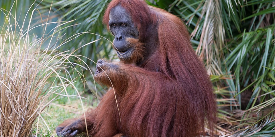Sumatran Orangutan - Adelaide Zoo