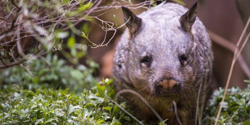 Kibbar Southern Hairy-nosed Wombat Adelaide Zoo
