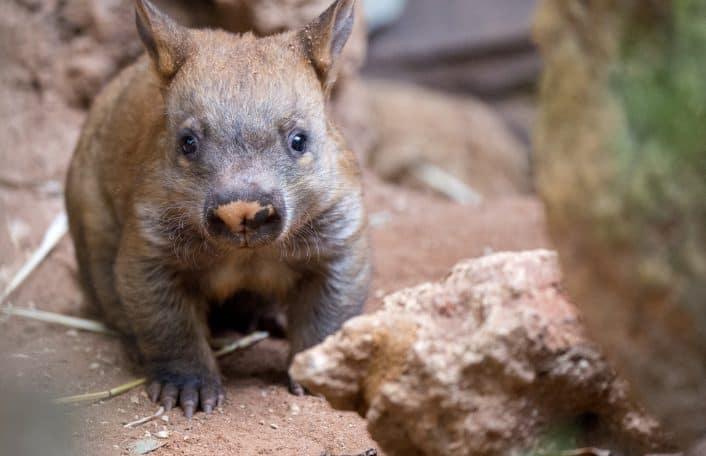 Wombat joey Adelaide Zoo