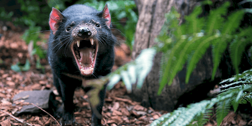 Meet Our Resident Tasmanian Devil At Adelaide Zoo