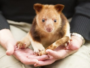Adelaide Zoo Tree Kangaroo April 2015