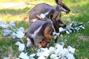 Adelaide Zoo Tree Kangaroo Febuary 2015-3