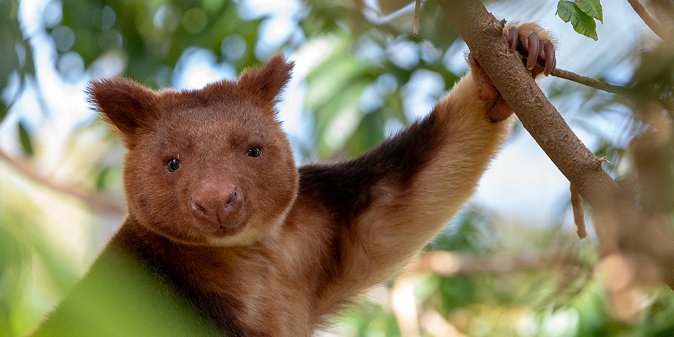 Adelaide Zoo Goodfellow's Tree Kangaroo Buna