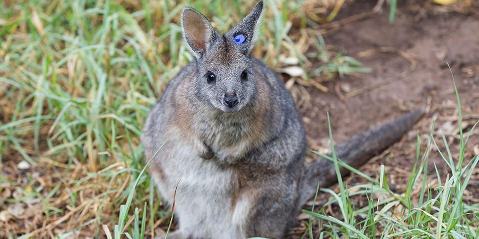 Meet Our Beautiful Mainland Tammar Wallabies At Adelaide Zoo