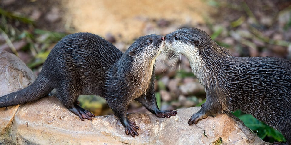 Asian Small-clawed Otter - Adelaide Zoo