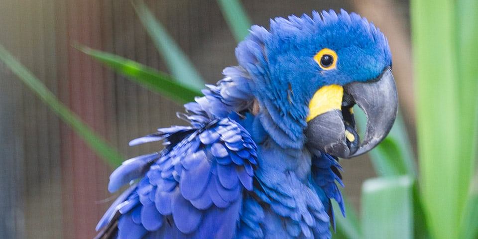 Hyacinth Macaw - Adelaide Zoo