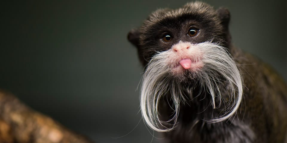 Emperor Tamarin Facts For Kids