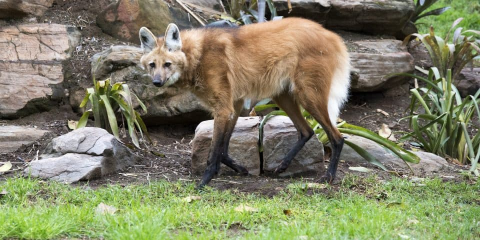 Maned Wolf at Adelaide Zoo